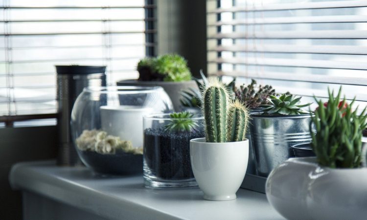 pots plants cactus in home